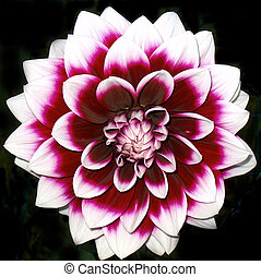 Dehlia Or Dahlia - Hunterdon County New Jersey - Purple &...