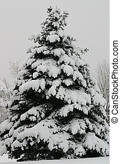 Christmas Tree - Pine tree laden with snow looks like it...