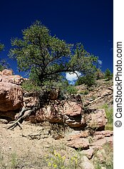 Tree of Life - Ancient pine tree grows through rocks and...