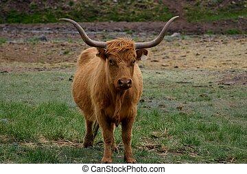 Long Horns - Long haired, long horned cow looks like a...