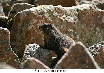 Marmot - A marmot plays among the rocks at the higher...