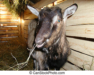 Goat - Portrait of young goat