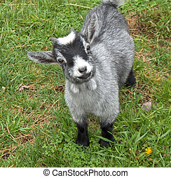 Wanna Play - 7 Month Old Miniature Goat Hunterdon County NJ...