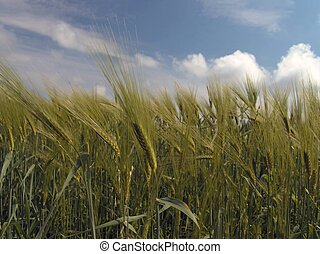Grainfield - Field of barley