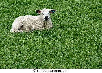Lamb laying in grass. Room for copy