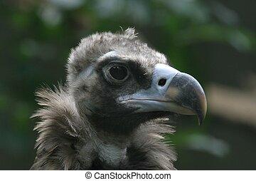 Vulture - Cinereous Vulture Portrait