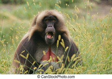 Baboon - Gelada Baboon with open Mouth showing its Teeth