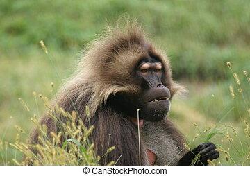 Baboon - Gelada Baboon Threat Display