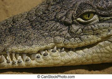 Crocodile Face Closeup