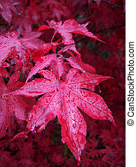 Acer Palmatum - Japanese Maple leaves in rain