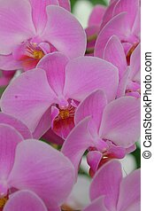 Orchid - Pink Orchids