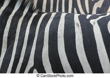 Zebra - Stripes of a Zebra