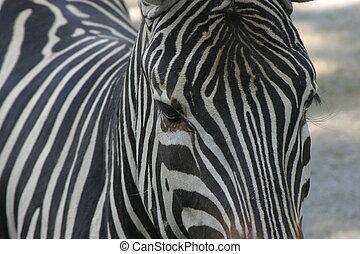 Zebra portrait