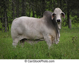 Bull in a Field - A Brahman Bull staring at me - wondering...