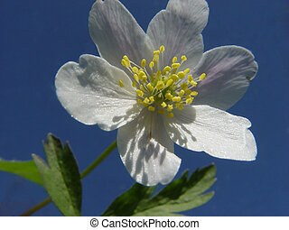 anemone - in front of the bright sky