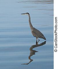 Blue Heron with blue water background