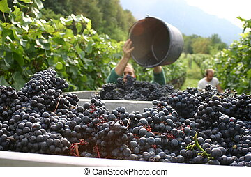 grape harvest in the south tyrol