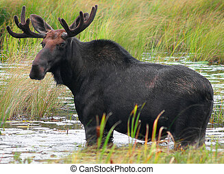 Moose - Male moose from Algonquin Park, Ontario, Canada.