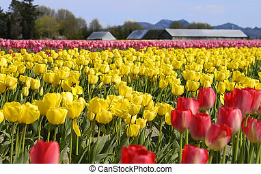 Tulip 764 - Tulip field in Skagit County Washington Photo...