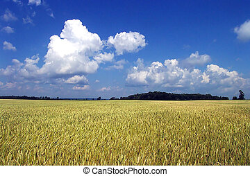 Summer Wheat Sky - A bountiful Field of summer Ontario wheat...