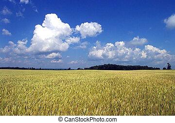 verano, trigo, cielo