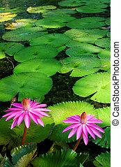 Pink lotus III