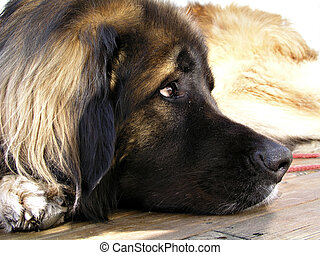 Wondering leo - Closeup of a leonberger wondering