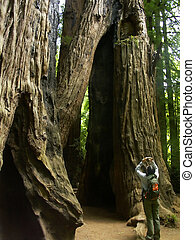 Redwoods - Heather taking a picture of towering redwood...