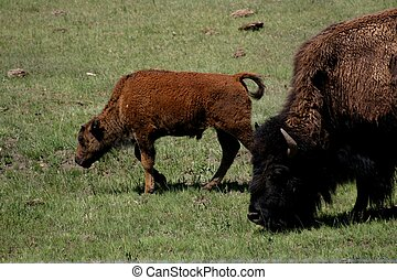 Mother & Baby - Buffalo cow and calf remind one of the great...