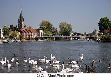 swans - River Thames at Marlow England