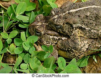 Faire Tetards - Two frogs celebrating Springtime