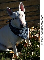 Eng Bull Terrier - English Bull Terriers were originally...