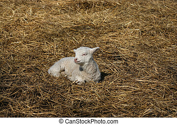 lamb laying on straw