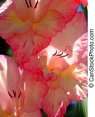 Gladiolas - Closeup shot of a trio of pinkish gladiola...