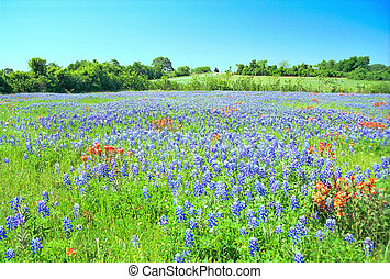 Texas Bluebonnets - A springtime field of Bluebonnets and...