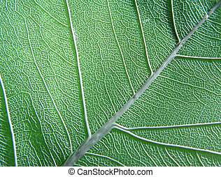 green leaf - dry transparent leaf