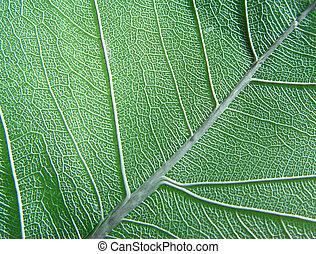 green leaf - dry transparent leaf