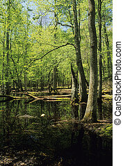 Gum Swamp, Spring, Cades Cove, Great Smoky Mtns NP, TN