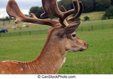 Deer with antlers - deer with antlers