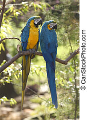 金, 藍色, macaws