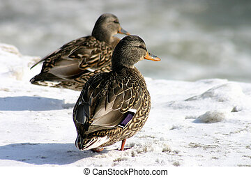 Ducks - Two ducks