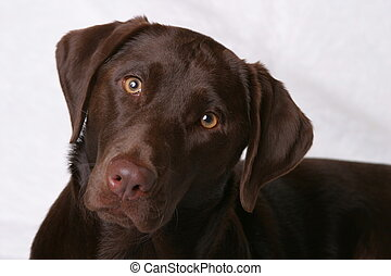 Brown Eyed Girl1 - Chocolate Lab Dog