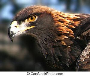 Un, orgulloso, dorado, águila
