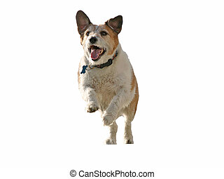 jump scup jump! - A jack rustle terrier leaping into the air