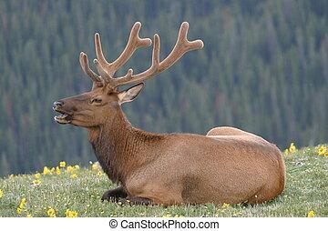 Elk Velvet1 - Velvet Elk 2
