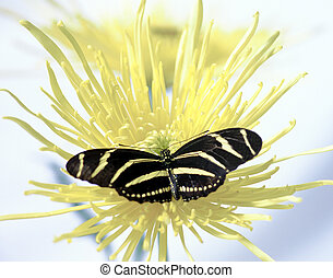 Zebra Longtail - butterfly on a yellow daisy