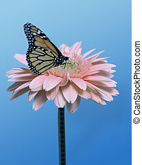 Gerbera Daisy - pink daisy with monarch butterfly