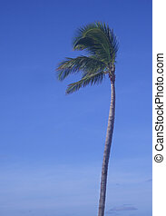 Palm and Sky - A tall palm tree against a blue sky that...