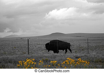 Buffalo Behind Fence - Buffalo herds once blackened the...