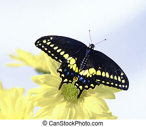 Black Swallowtail - butterfly on yellow daisies